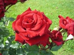 Rosenblüte, rot
