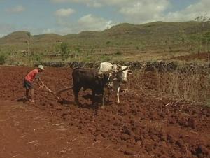 Javanischer Bauer pflügt mit Ochsen